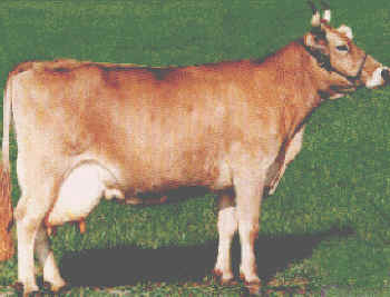 Swiss Ideal Cow with excellent distinction